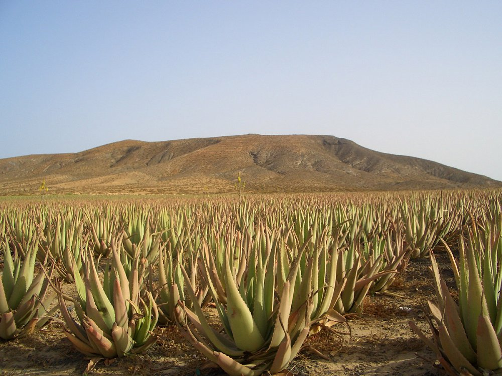 aloe vera and other medicinal Canary Island plants